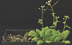 シロイヌナズナの乾燥耐性実験。12日間乾燥状態にした後に給水し、さらに24時間経過した時点での野生型(左)と遺伝子組換え体(右)。