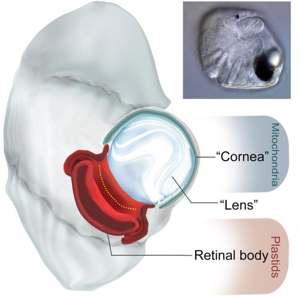 微生物学:植物プランクトンの眼アルツハイマー病