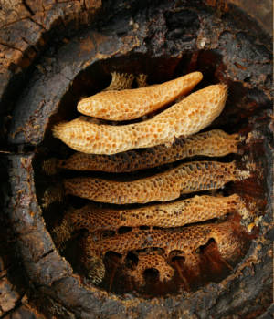 A hollow log hive reveals the details of circular comb architecture in honeybees.