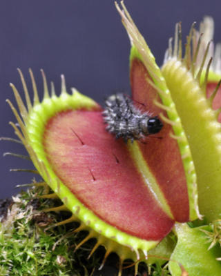 A potential meal stimulates the touch-sensitive trigger hairs inside a Venus flytrap.