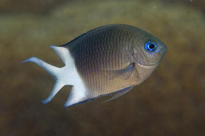 The Spiny Damselfish, Acanthochromis polyacanthus, is the fish used in the research.