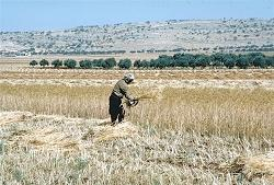 A farmer harvesting wheat with a sickle in Syria.