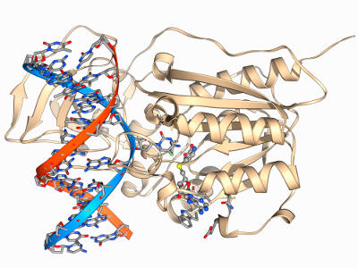 Molecular model of a methyltransferase enzyme (beige) complexed with a molecule of DNA (red and blue). The DNA methyltransferase family of enzymes add methyl groups to the DNA, which can turn off or regulate genes without changing the genetic sequence.