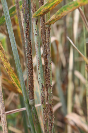 Yemen is a key dispersal point for wheat stem rust and its dangerous strains.