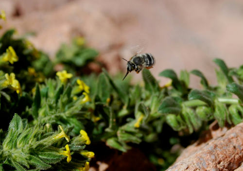 Honeybees are competing with wild bees over limited resources in Sinai, study finds.