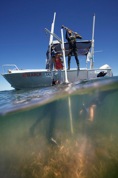 Seagrass meadows can store carbon for thousands of years, but global warming is changing this.