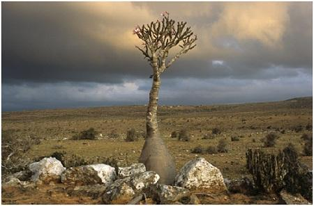 Socotra's biodiversity is of immeasurable value, yet faces increased challenges such as habitat fragmentation, over-exploitation and loss of traditional knowledge.  Adenium obesum  ssp.  sokotranum, Diksam Plateau, Socotra.