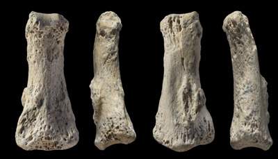 Fossil finger bone of Homo sapiens from the Al Wusta site, Saudi Arabia.