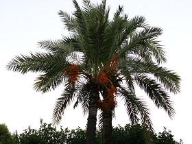 Dates are a staple food to millions in the Middle East and North Africa.