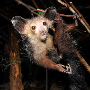 The strange aye-aye (Daubentonia) of Madagascar