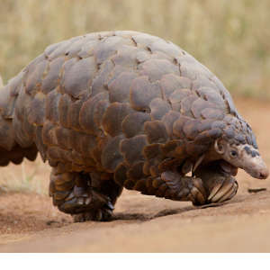 Pangolins are hunted for their blood, scales, and meat.