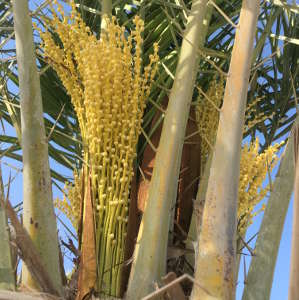 Female date palms are conventionally distinguished from the male trees only when they begin to produce fruit around the age of five.