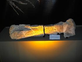 A fossil of the femur of a sauropod