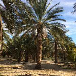 Samples were taken from date palm roots and the soils in seven Sahara Desert oases, including the Rjim Maatoug Oasis in western Tunisia.