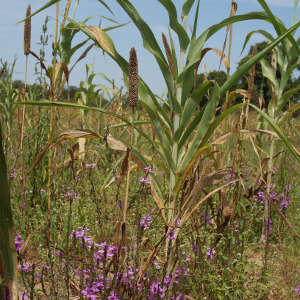 A pearl millet field infested with Striga hermonthica (purple flowers), an invasive, parasitic plant.