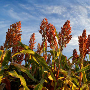 Sorghum is a staple food crop that supports the livelihood of millions of people in sub-Saharan Africa.