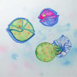 Watercolor painting: The parasite Amoebophrya (upper left green) infects the dinoflagellate Alexandrium (upper right), a single-celled organism that forms toxic algal blooms. Amoebophrya penetrates its host, eats it from the inside out, and then emerges from the dead organism (right down), decimating Alexandrium populations.