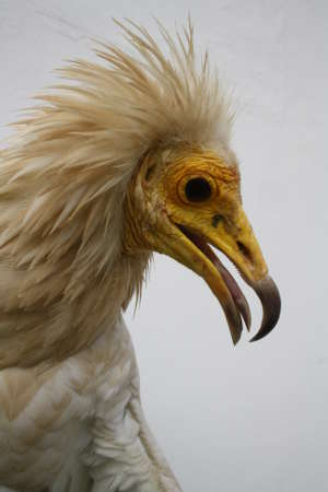 The adult Egyptian vulture (Neophron percnopterus) is a globally endangered species that has a mutualistic relationship with humans, regularly feeding on anthropogenic waste.