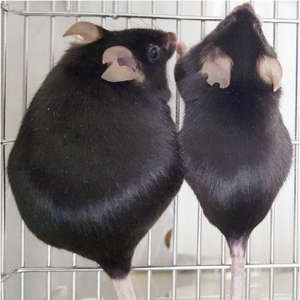 A mouse missing Arid5a (left) weighed twice as much as a wild-type control mouse (right).