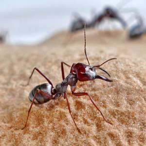 Analyses were performed on soldier Saharan silver ants (Cataglyphis bombycina) in the Tunisian desert.