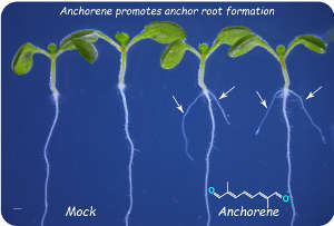 Anchorene, a recently identified signalling molecule in plants, promotes anchor root formation in Arabidopsis.