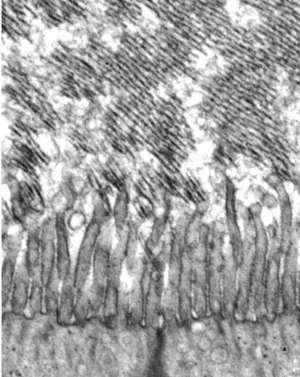 Transmission electron microscope image of the developing tectorial membrane in a mouse two days after birth.