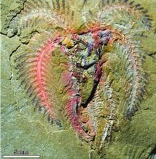 Marrellomorph arthropod, probably belonging to the genus Furca, Upper Fezouata Formation.
