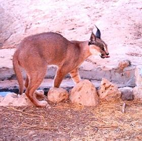 Caracal caracal, a nocturnal hunter, has almost disappeared from Jordan due to excessive hunting of its preys.