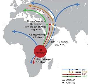 The proposed model of the spread of the H2 haplotype out of Africa.