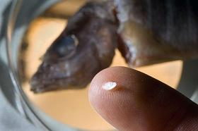 Otoliths record the conditions a fish is experiencing at any time, making it possible to track where a fish went throughout its life.