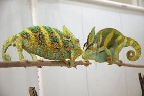 When male chameleons challenge each other for territory or a female, their coloring becomes brighter and more intense. During a contest, the lizards show bright yellows, oranges, greens and turquoises.