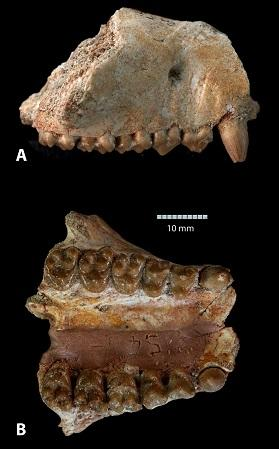 The jawbone and cheek teeth of  Ocepeia daouiensis.