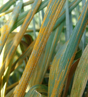 Wheat stripe rust destroyed 40% of wheat crops in West Asia in 2010