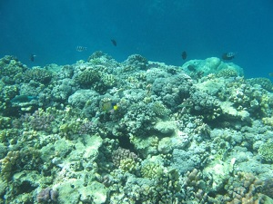 Red Sea coral reefs are one of the natural habitat of Lobophora variegata